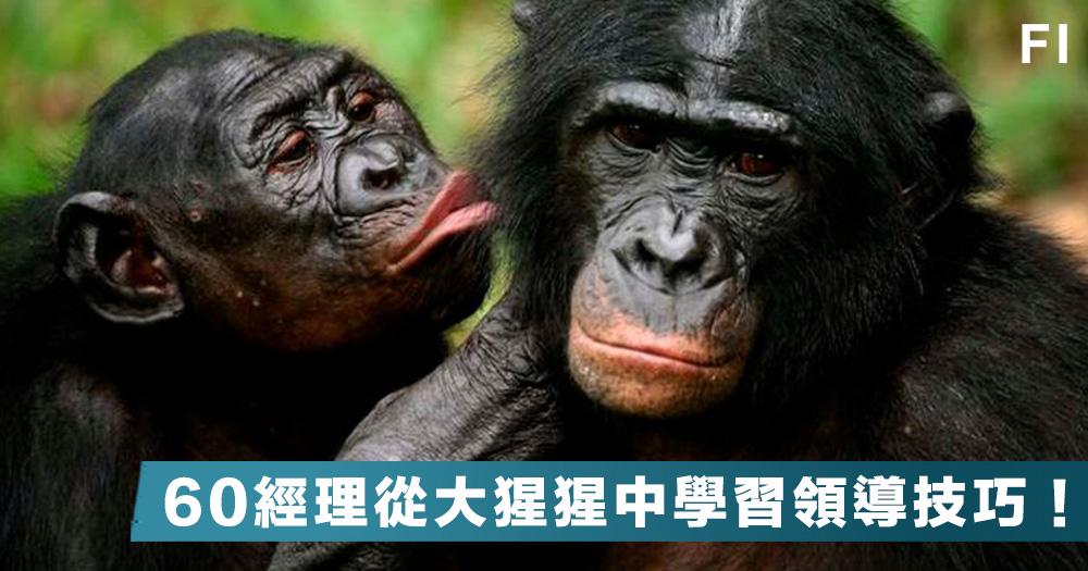 【猿猴智慧】從大猩猩中學習領導技巧?荷蘭諮詢公司帶領60個企業經理,觀察猩猩行為從中學習領導技巧!